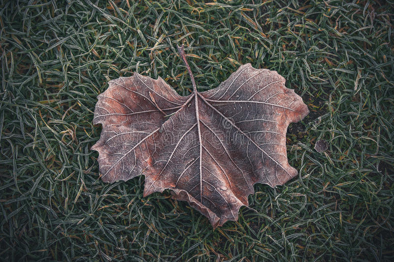 Frozen leaf with beautiful patterns. In the green grass on an cold autumn morning royalty free stock image