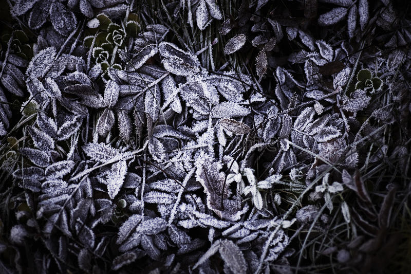 Download Frozen leafs stock photo. Image of plant, frost, white - 22476750