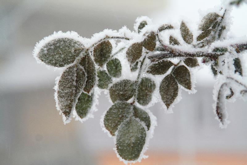 Frozen leaves on the branch. Frozen winter leaves against blur background stock images