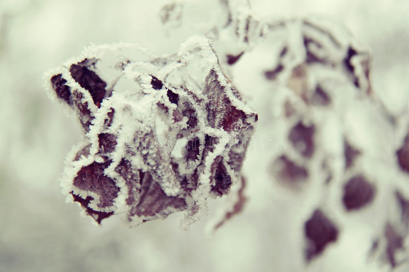 Frozen leaves. Close-up on frozen leaves stock image