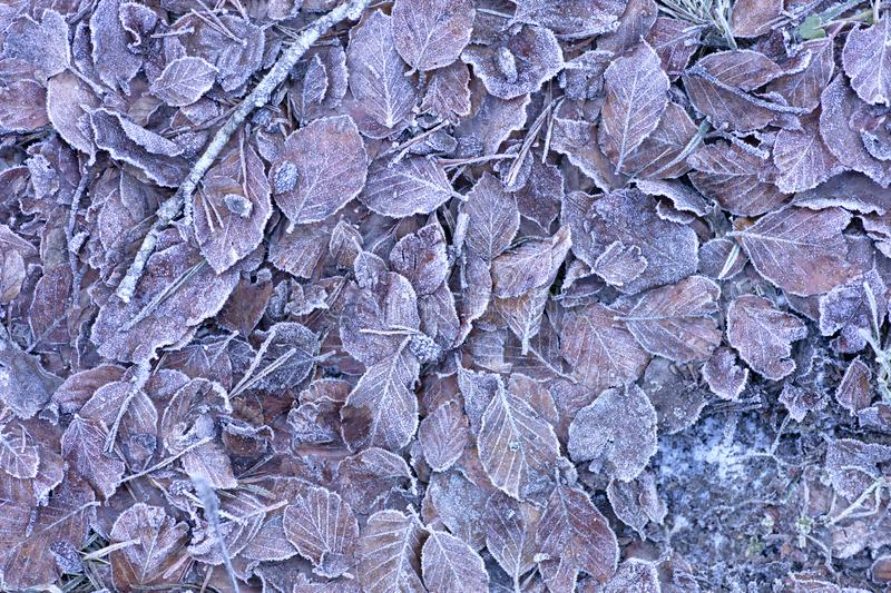 Frozen leaves on the floor. Background of dried frozen leaves on the forest floor at sunrise on a winter morning, photo with brown tones royalty free stock photo