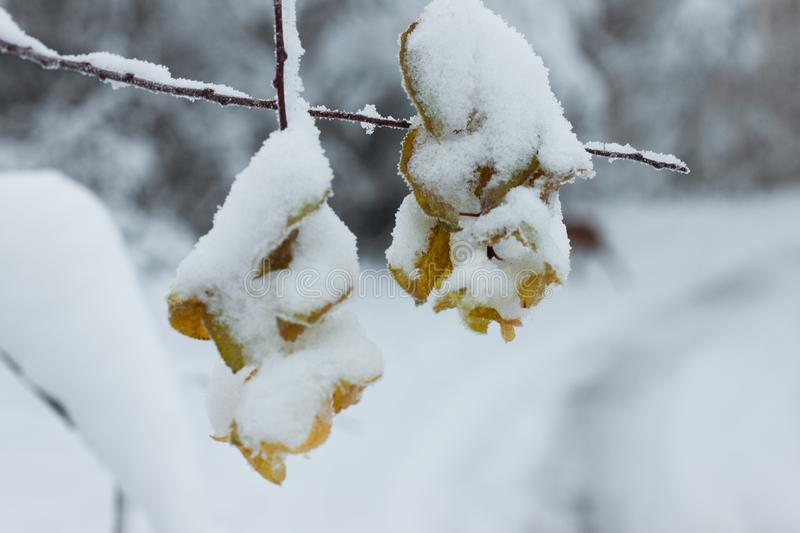 Frozen leaves. Covered with snow in winter royalty free stock image