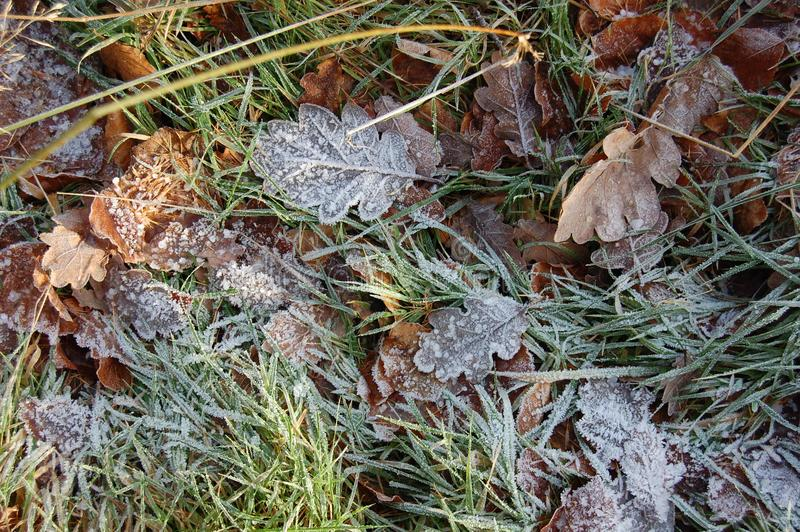 Frozen leaves in the grass. On a winter walk in Northumberland royalty free stock photos