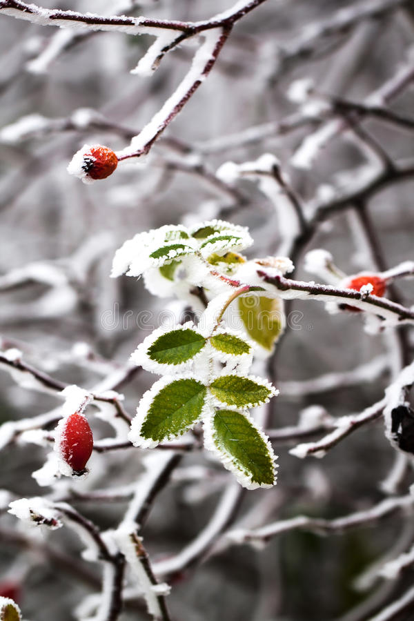 Frozen leaves stock images