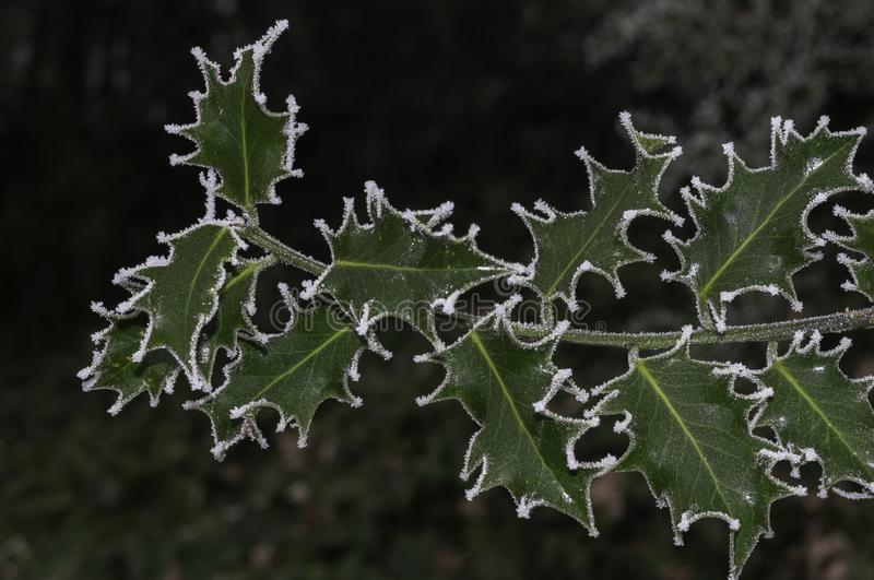 Frozen leaves on a holly bush royalty free stock photography