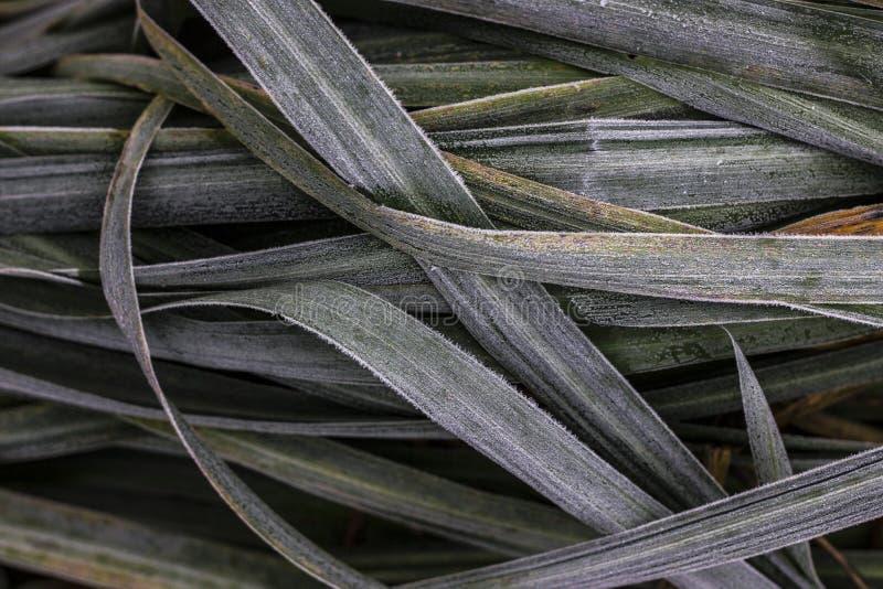 Frozen leaves of iris. In autumn in my garden stock image