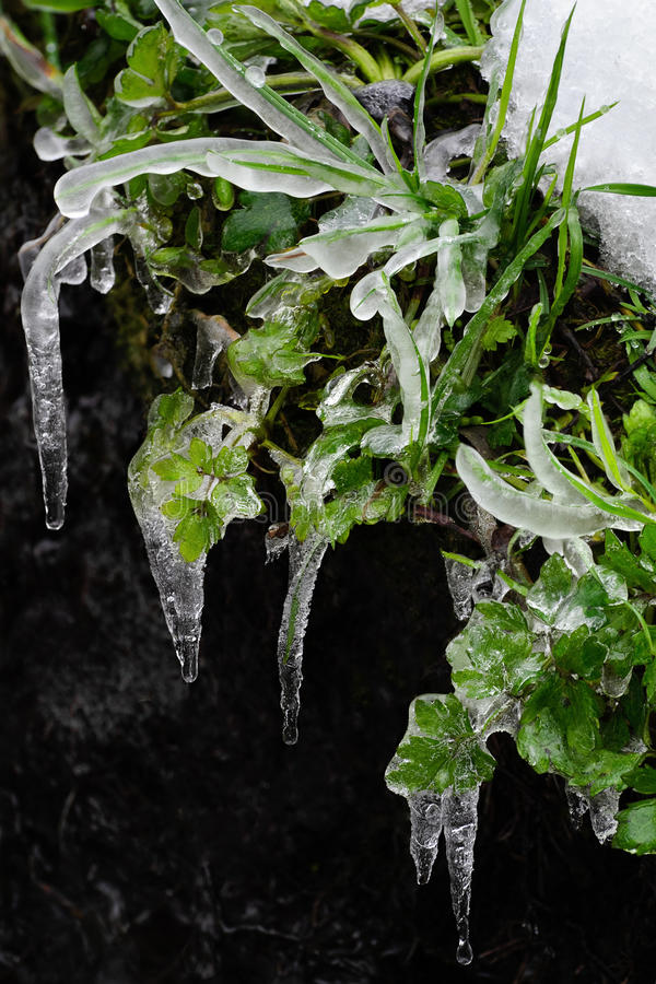 Frozen leaves, leaf with ice lace I royalty free stock images