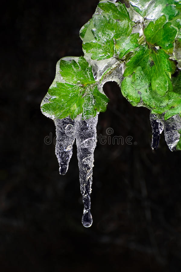 Frozen leaves, leaf with ice lace royalty free stock photo