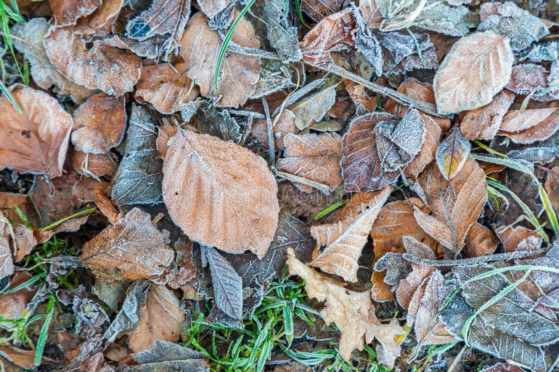 Frozen Leaves. Looking down on frozen leaves, on a frosty winters morning royalty free stock photography