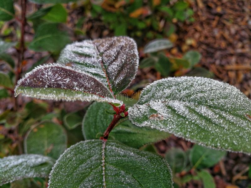 Frozen leaves. In the morning stock photo