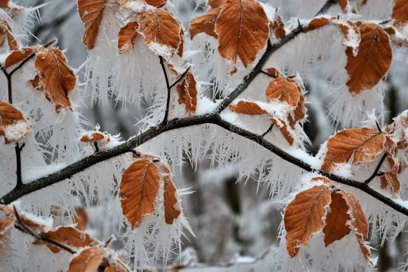 Frozen leaves. Near BezdÄ›z castle royalty free stock images
