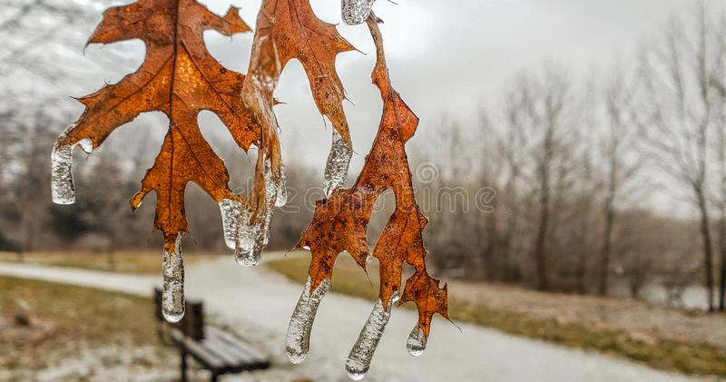 Frozen Leaves of Oak. View of frozen oak leaves with a footpath and bench in background; icicles on leaves royalty free stock photos
