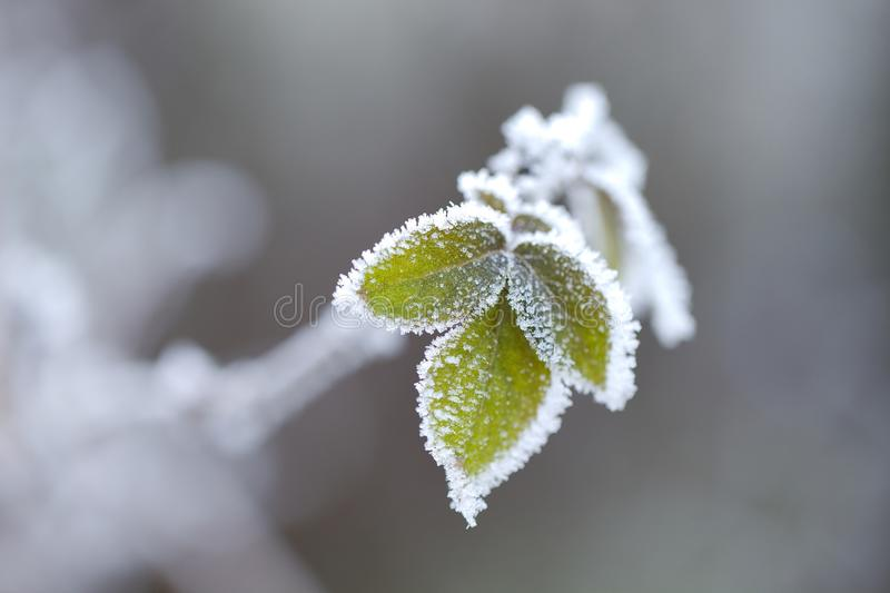Frozen leaves. Of a plant in winter royalty free stock photography