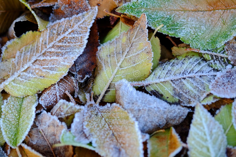 Frozen Leaves Texture. With autumn leaves covered with ice crystals stock photography