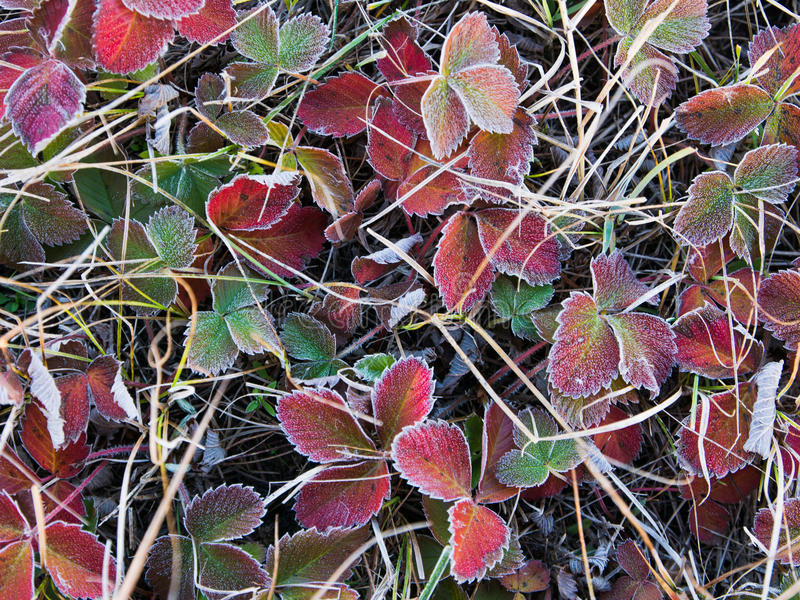 Frozen leaves. Of wild strawberry in early November morning stock photos