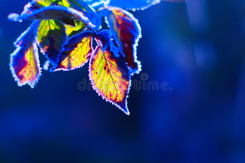 Frozen Leaves In Winter. Frozen leaves in cold sunny winter day on blue background royalty free stock images