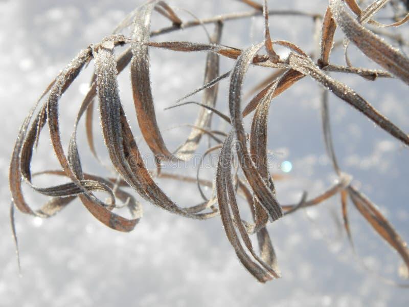 Frozen leaves. In winter, hoarfrost, frost stock image