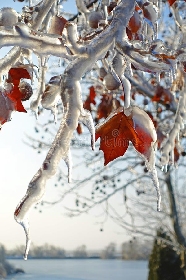 Frozen leaves in winter time royalty free stock photo