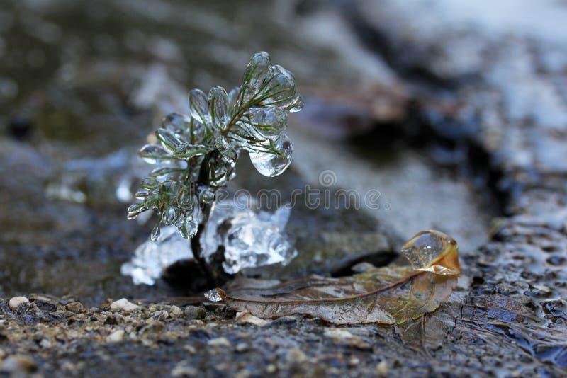 Frozen little plant royalty free stock photo