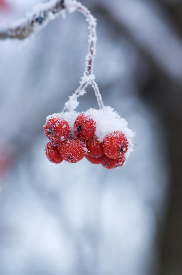 Download Frozen Mountain Ash On A Branch Stock Photo - Image: 17770812