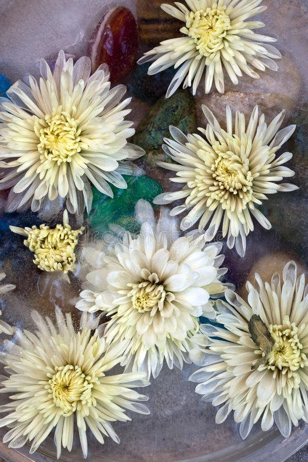 Download Frozen Mums Stock Image - Image: 12750411