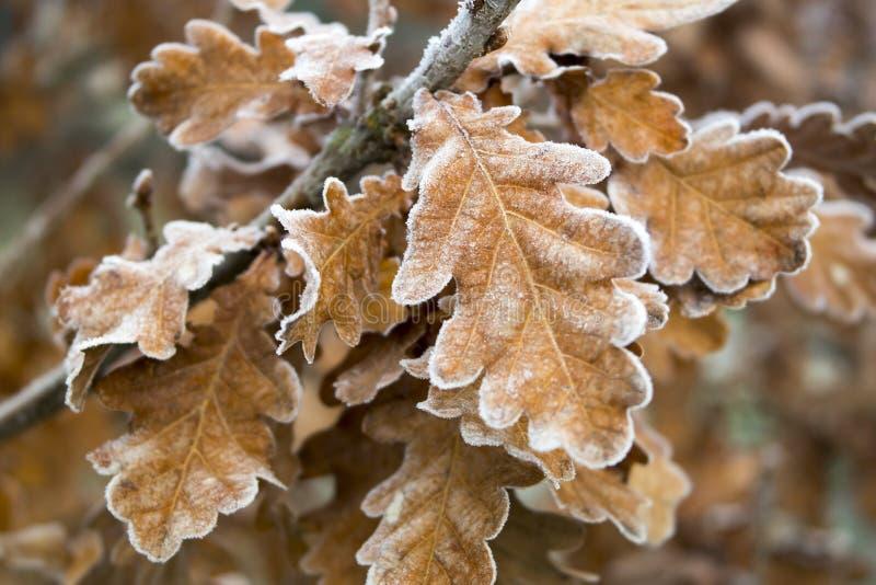 Frozen oak leaves. Frozen oak leaves on the branch stock photos