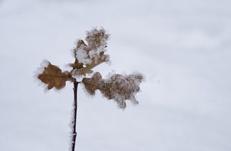 Frozen oak leaves. A branch of an oak tree with frozen leaves on the Polish mountains in the winter royalty free stock photography