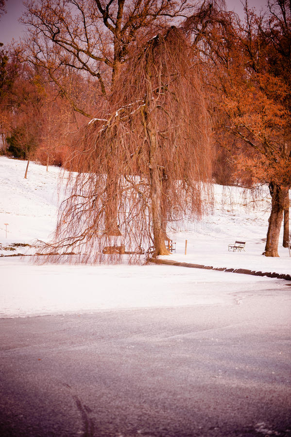 Download Frozen park stock image. Image of willow, coldness, park - 22951147