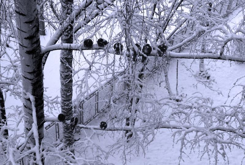 Frozen pigeons on snowy birch. Birds on tree on cold winter d royalty free stock image
