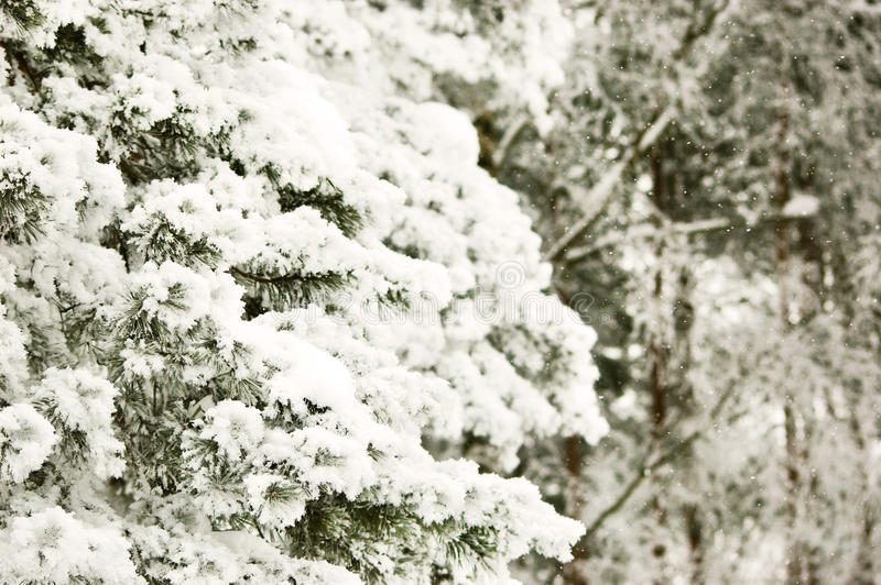 Download Frozen pine branch stock photo. Image of forest, crystal - 33412400