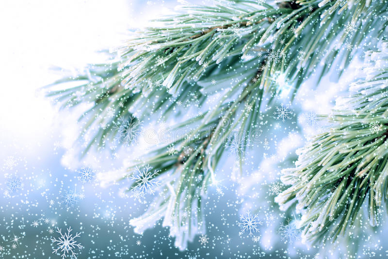 Download Frozen pine fir stock image. Image of flakes, tree, frost - 27974253