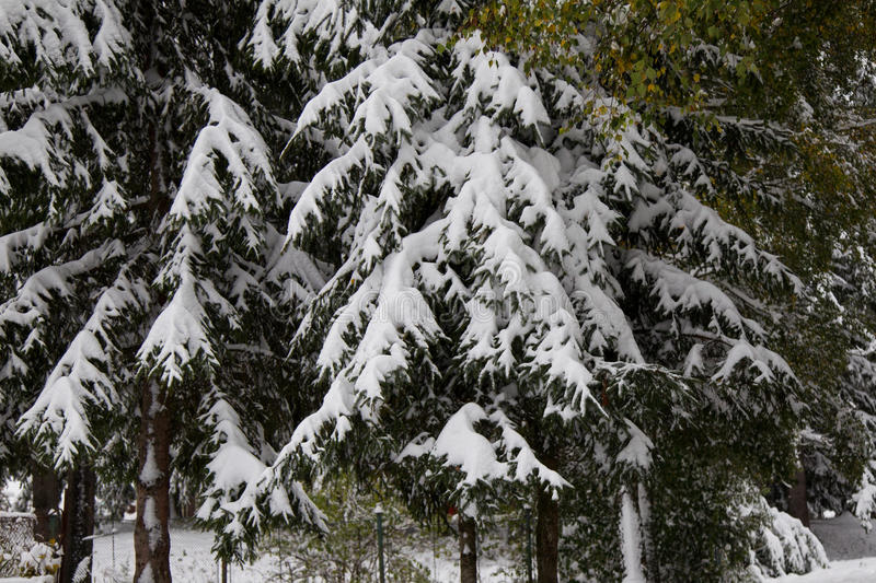Frozen pine tree. A branch of a frozen pine tree stock images