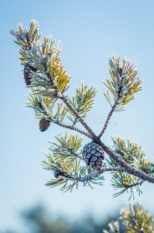 Frozen pine tree branch royalty free stock photography