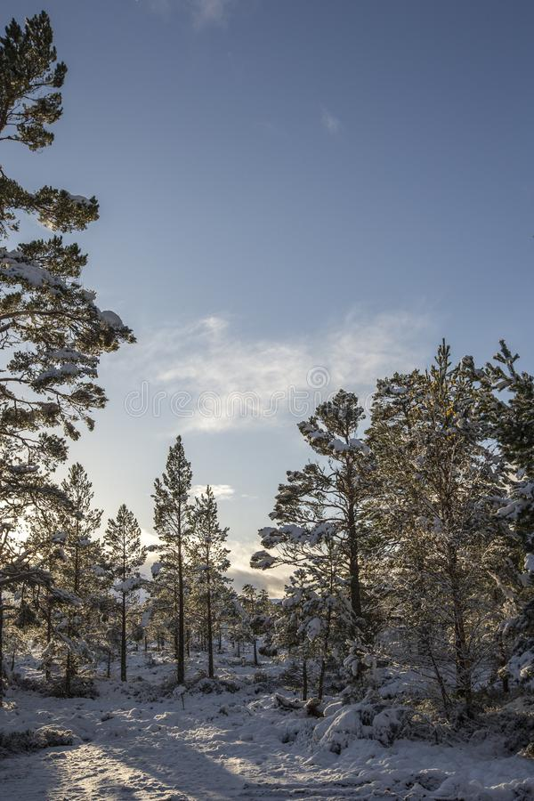 Frozen Pines and snow at Glen More in the Cairngorms National Park of Scotland. stock image