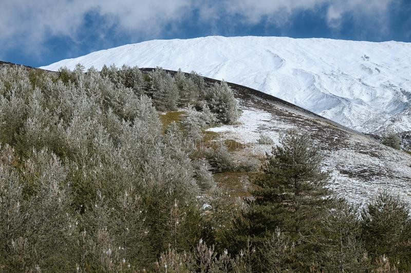 Frozen Pines In Tree Line Of Etna Park, Sicily royalty free stock photography