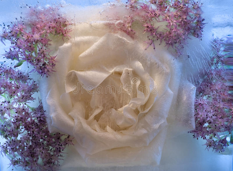 Frozen pink rose flower royalty free stock photography