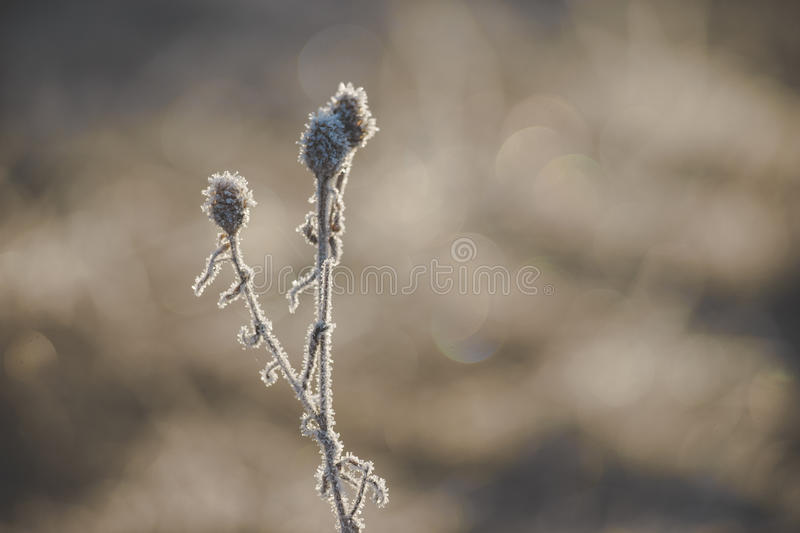 Frozen plant covered with hoarfrost. Natural background from frozen plant covered with hoarfrost stock photography
