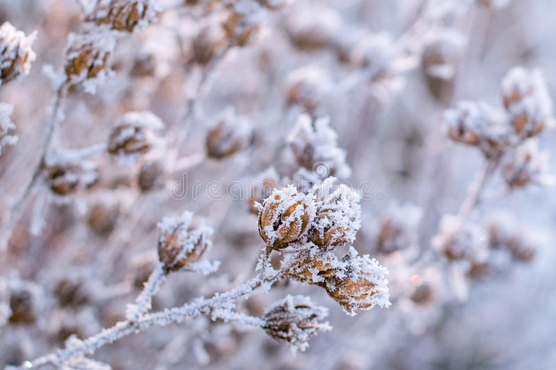 Frozen plants in winter. Dry flowers covered with the hoar-frost.Winter background. Frozen bushes in early morning close up. First stock photo