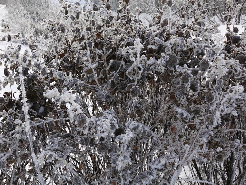 Frozen plants in winter. Dry flowers covered with the hoar-frost.Winter background. Frozen bushes in early morning close up. First royalty free stock photography
