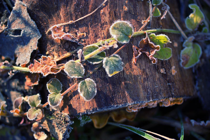 Frozen plants in winter with the hoar-frost royalty free stock photography
