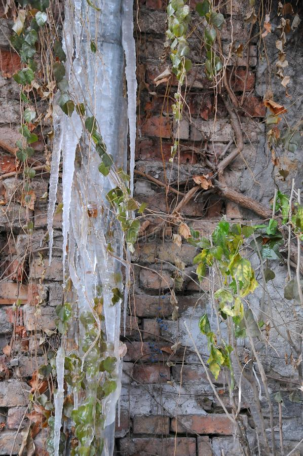 Frozen Rainwater Pipe and Shrub. Against the brick wall background stock images