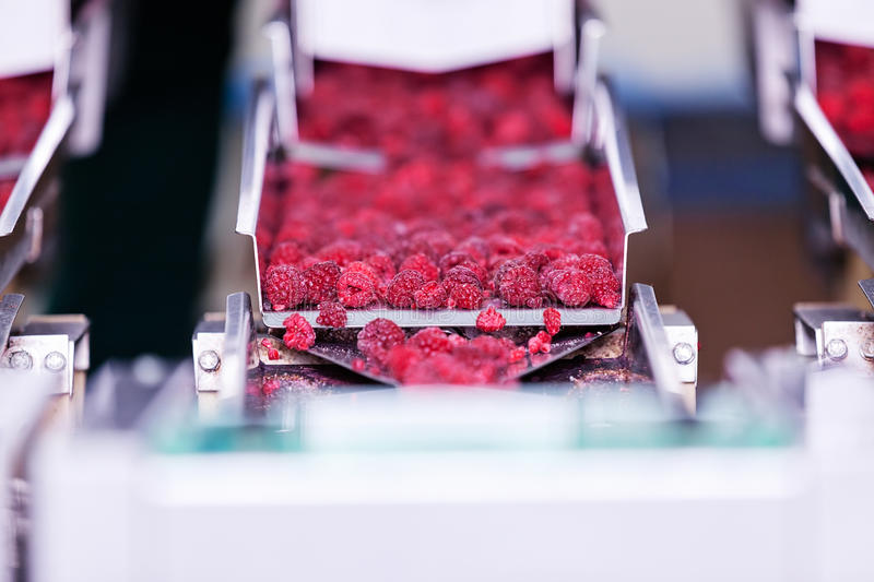 Frozen raspberry processing business royalty free stock photo