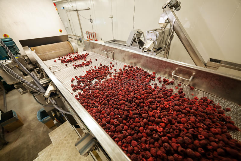 Frozen raspberry processing business. Frozen red raspberries in sorting and processing machines stock photo