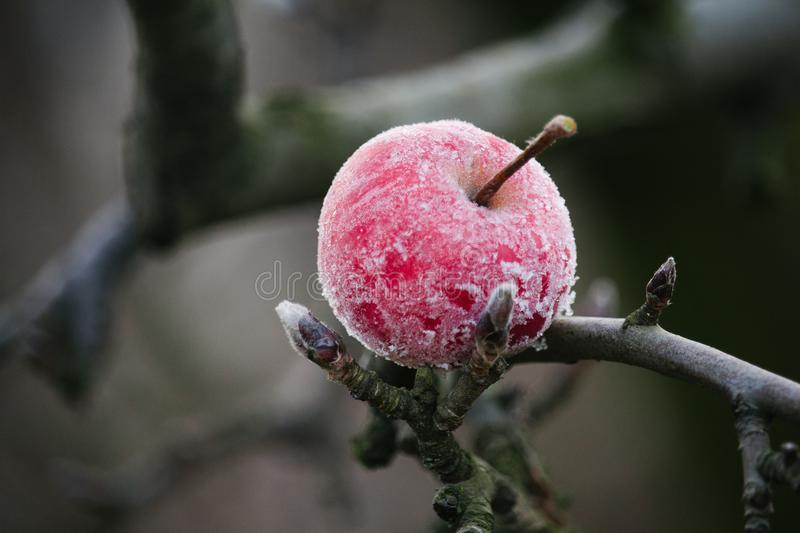 Frozen red apple. stock photo