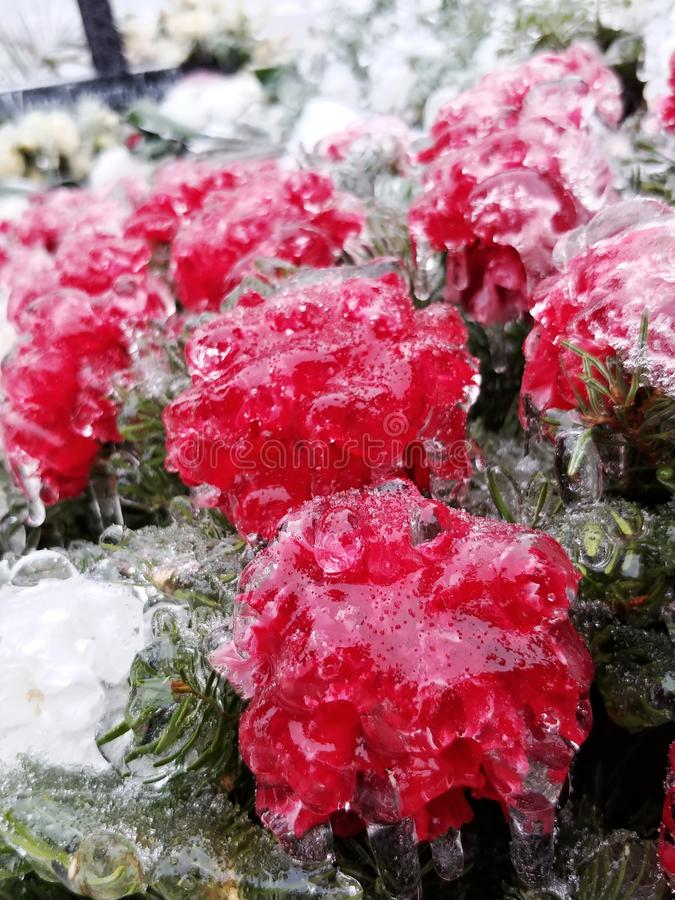 Frozen Red Carnation Dianthus Caryophyllus. In january in winter stock photography