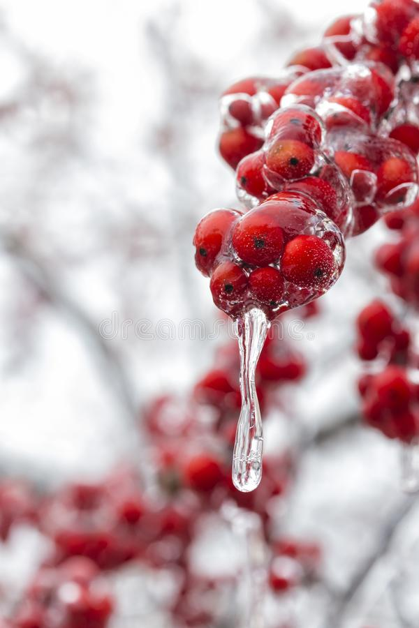 The Frozen Red Fruit royalty free stock images