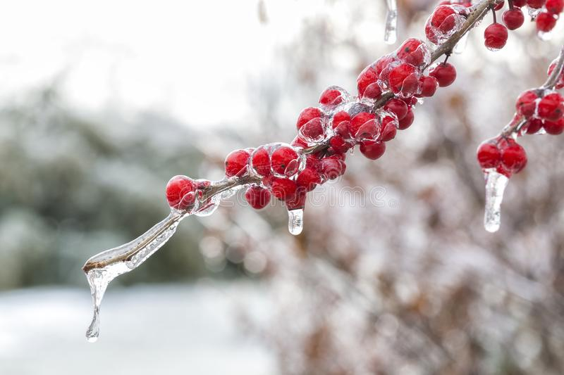The Frozen Red Fruit stock images