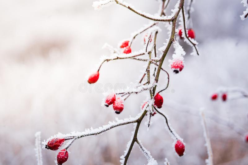 Frozen red rose hips, the accessory fruit of the rose plan royalty free stock photography