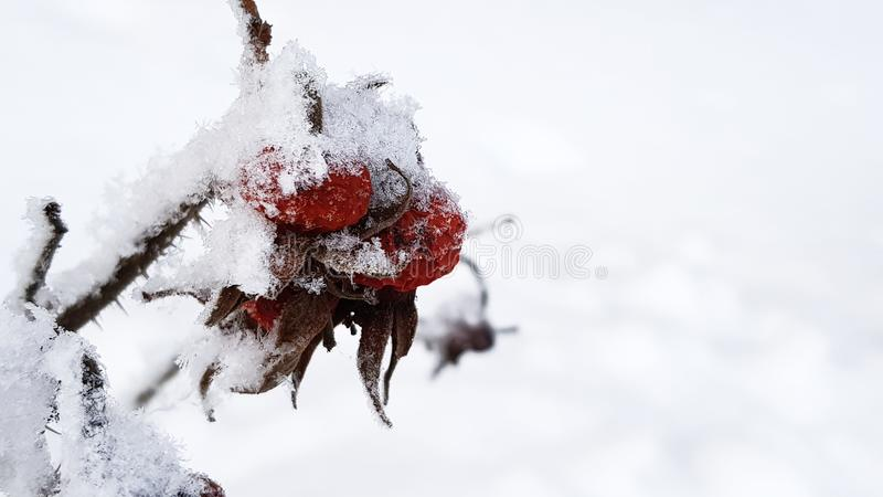 Frozen red rose hips with snowflakes on white snow in winter day stock images