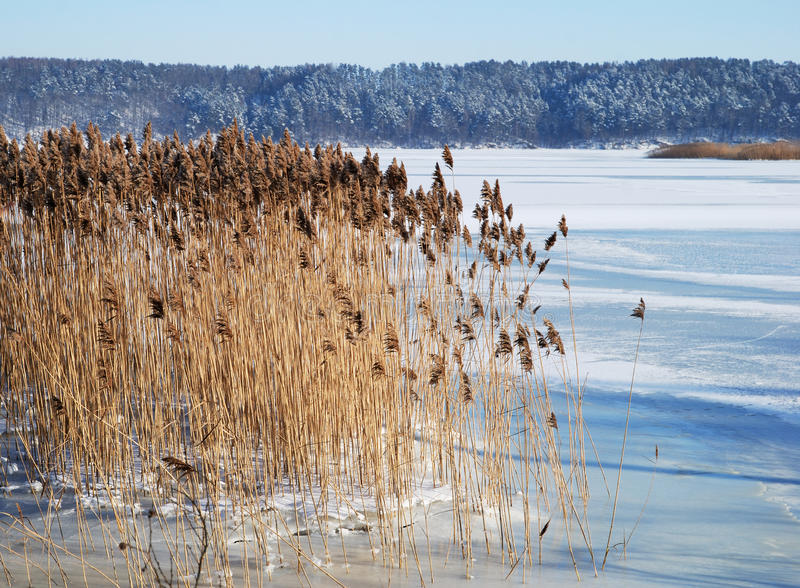 Frozen Reed Stock Photo